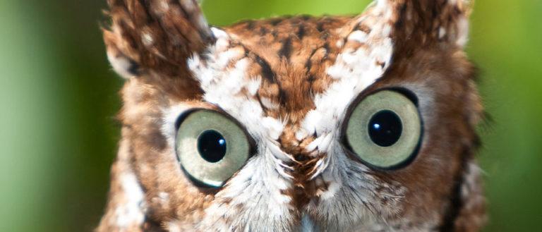 Grandfather Mountain Owl