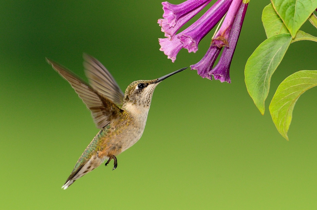 A hummingbird sipping on nectar.