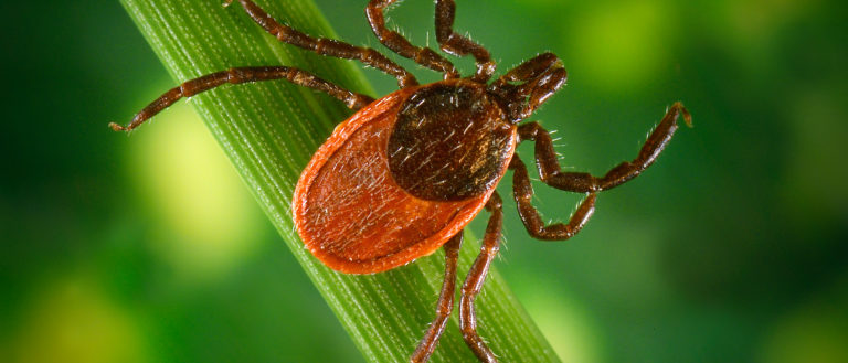 A blacklegged tick on the stem of a plant.