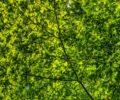 A bright green tree canopy.