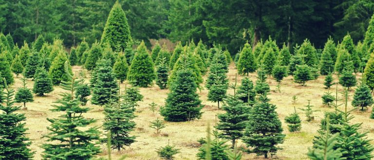 A Christmas tree farm.