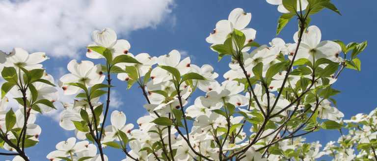 The leaves of a dogwood tree.