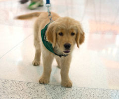A very fluffy service animal in training.
