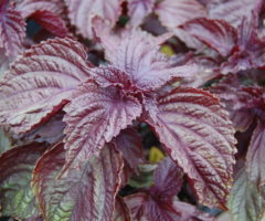 A crop of purple shiso growing in the wild.