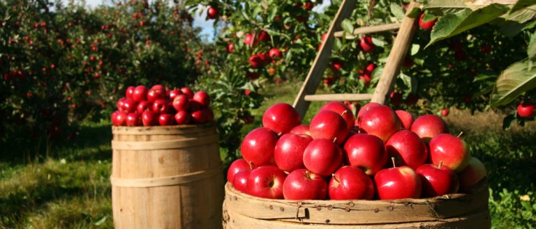 Large baskets of red apples at an apple orchard.
