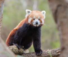 A red panda on the endagered species list.